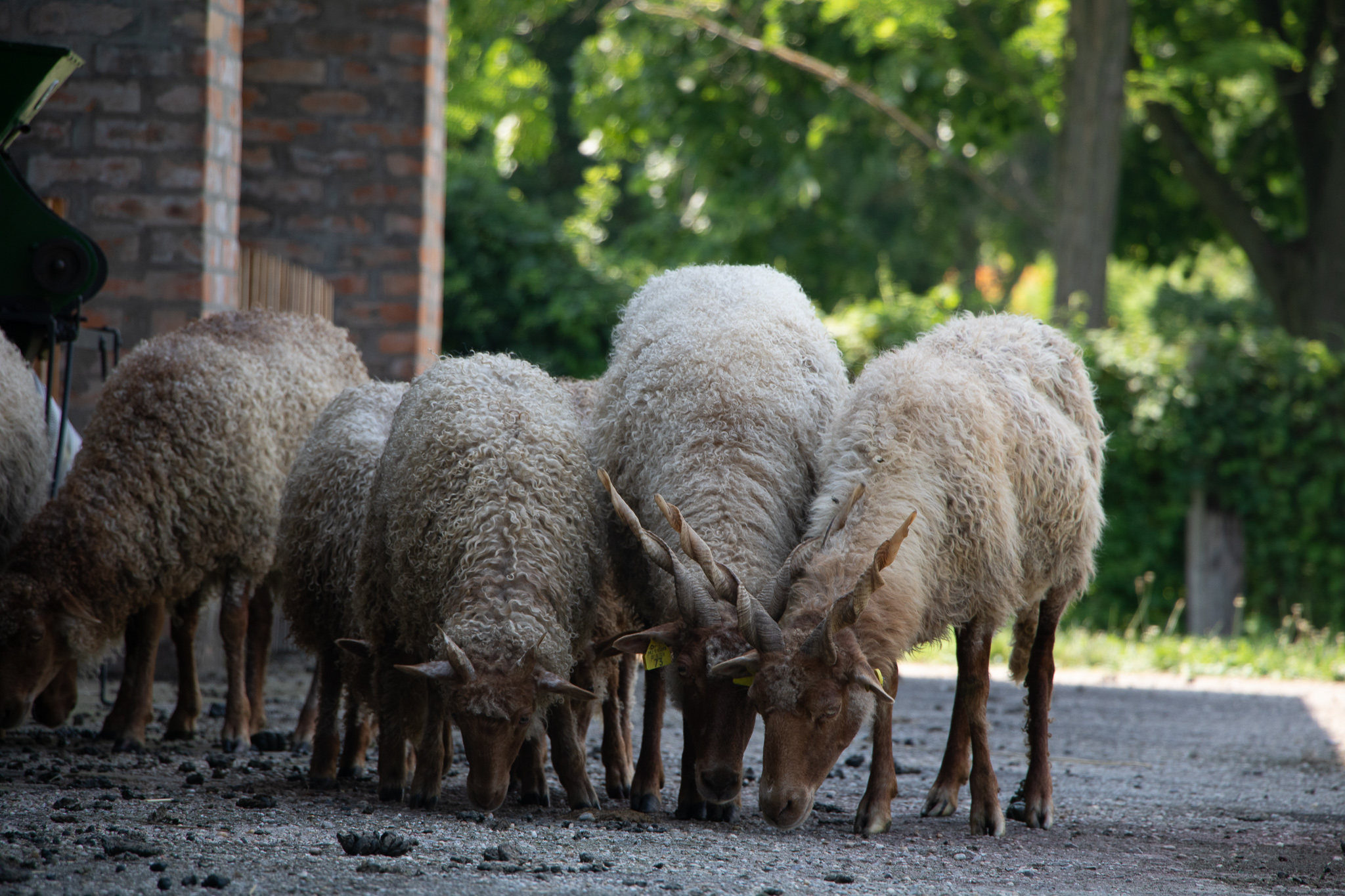 Hongaarse schapen, Szenna